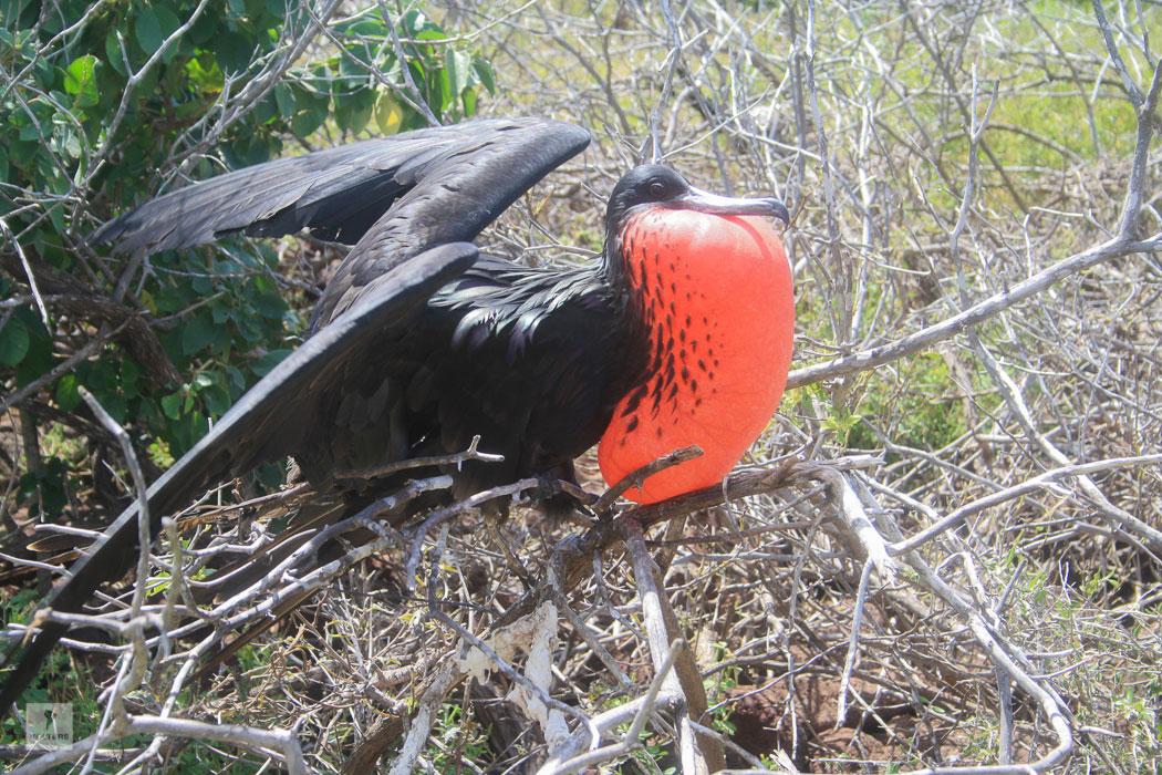 Balzender männlicher Fregattvogel