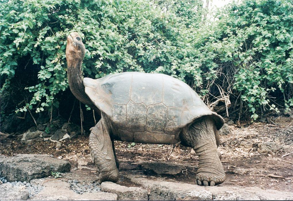 Geochelone elephantopus – bis zu 160 Jahre alt