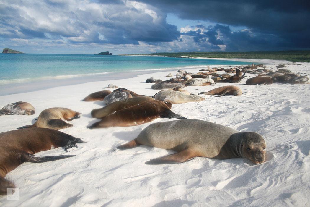 Seelöwen auf Espanola