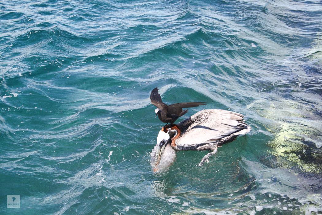 Pelikan und Noddi