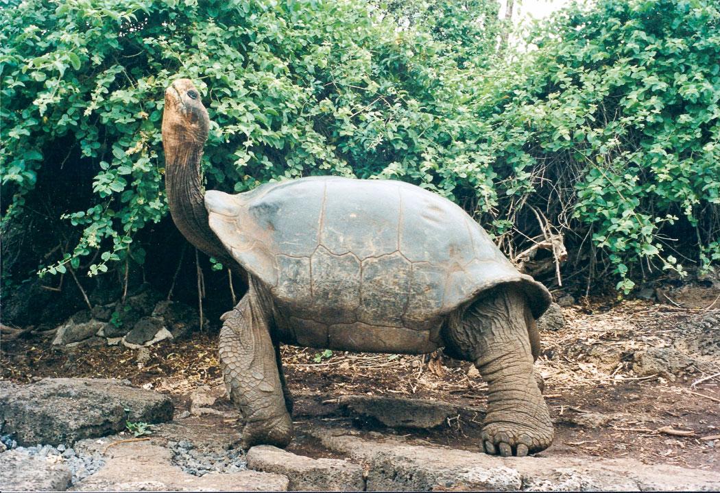 Kuppelschildkröte auf Santa Cruz