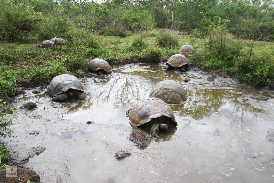 Kuppelschildkröten