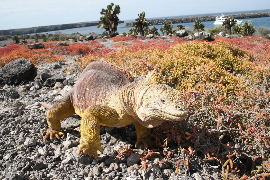 Ecuador – Galapagos Inseln – Echsen und Vulkane